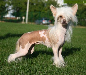 чубата китайська собака фото