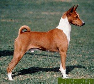 Собака Басенджи-опис, догляд, дресирування