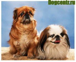 Собака Пекінес-ціна, фото, догляд, виховання, годування