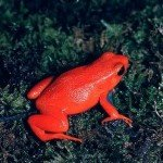 Самі унікальні жаби світу